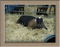 Click to see Goat full size