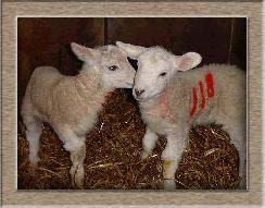 Click To Adopt A Sheep Now