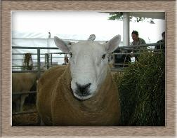 Click to see all SwapLamb sheep photos